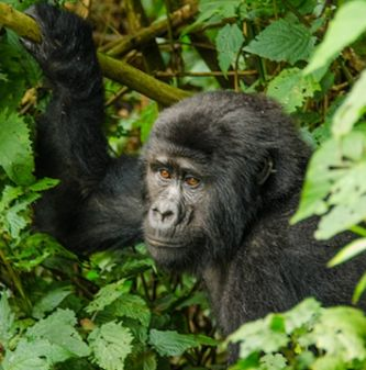 4 DAYS ADVENTURE OF THE GORILLAS IN THE MIST AND HIKE OF MOUNTAIN BISOKE